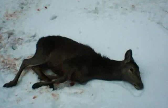 На Рахівщині браконьєри застрелили молодих оленів, занесених до Червоної книги