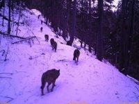 На Рахівщині сіроманці загризли козулю (ФОТО 18+)
